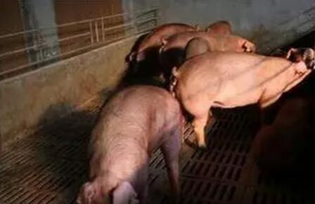 母猪在不同时期出现返情的原因是什么?