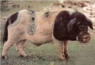 多数猪场大面积暴发高热、死亡,都是因为它