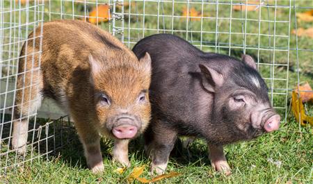 猪市疯涨!养殖企业却连连亏损!未来猪价能否持续强势?