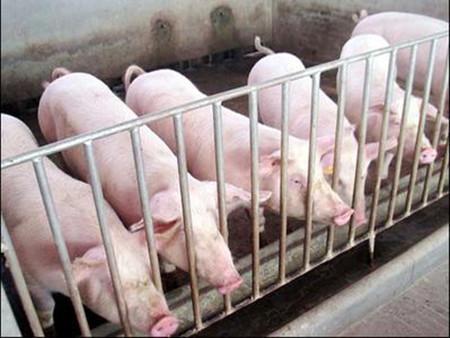 只需要1个瓶盖、1卷胶带就能治好脐疝发病早期的仔猪
