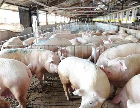 猪场肥猪拉血,养猪人应该怎么处理,猪群恢复的比较快