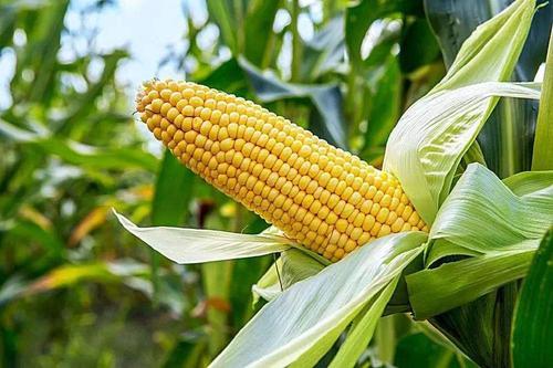 """玉米后市看涨,但冲高""""2""""元不可能"""