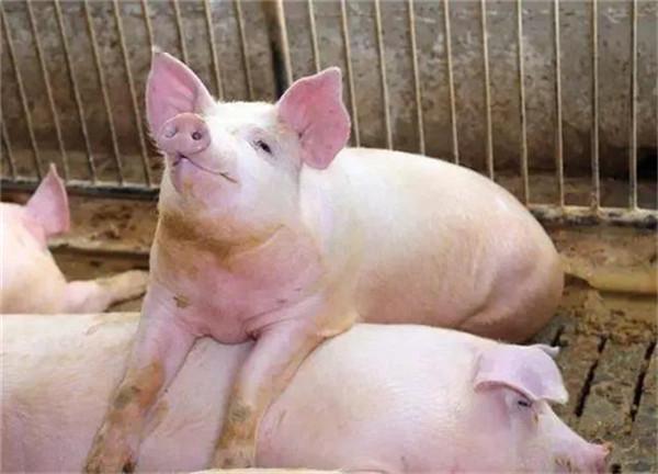 生猪期货挂牌已逾3月,正邦、新希望、牧原等企业入场后都做了什么?