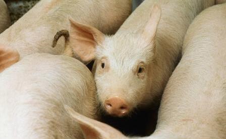 专家教你防控猪的气喘病!