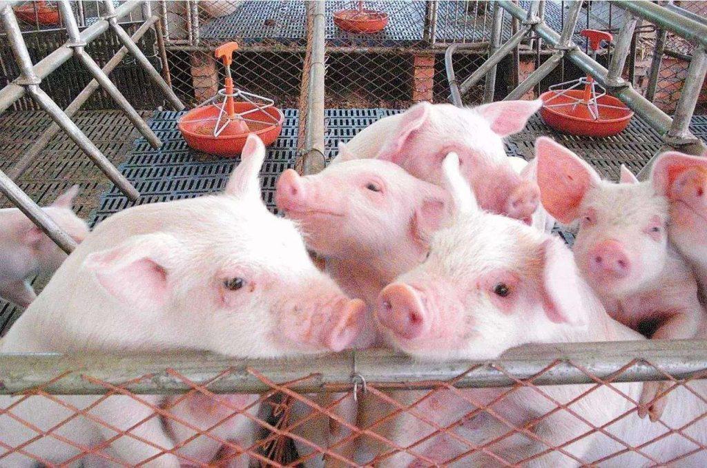 猪为什么会突然猝死?有哪几种疾病会导致猪发生猝死?该怎么预防