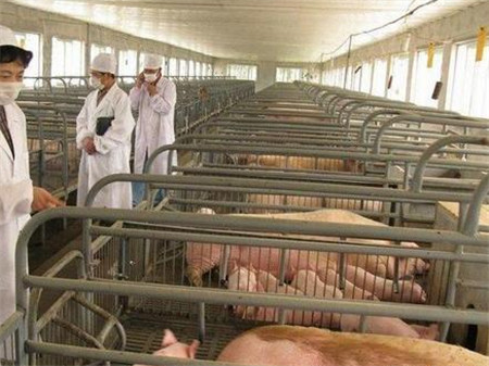 猪临床检查之——群体检查,啥病一眼就能看出