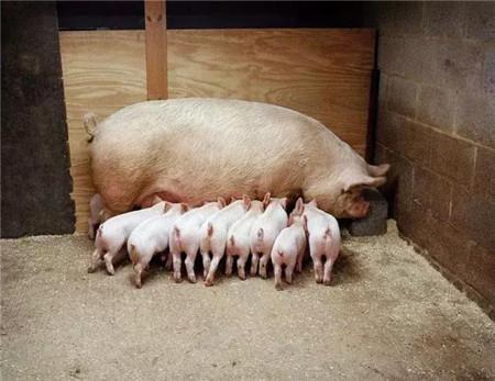 """0%的规模猪场都遭遇的""""母猪便秘""""难题,其实不难解决!"""""""
