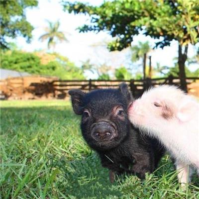 """个品种本土种猪灭绝!我们餐桌多为""""外来猪""""?!本土""""二师兄""""去哪了?"""""""