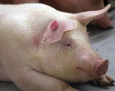 小偏方、省钱又省力、治疗猪的各种疾病,你值得收藏!