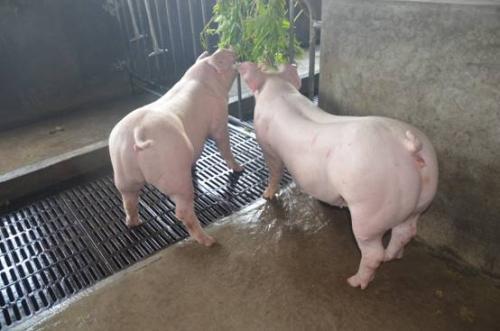 治疗猪病都有哪些土法?土法治猪病