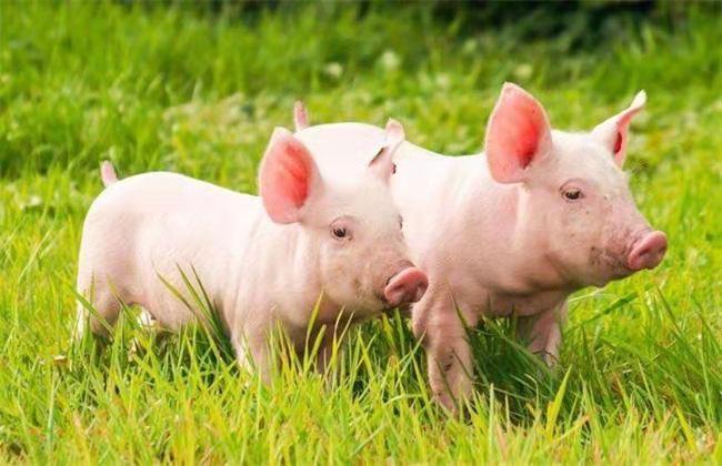 实施新一轮全国生猪遗传改良计划,确保畜禽核心种源自主可控