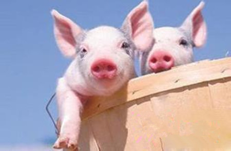 冬季仔猪腹泻的五大类型,每一个都不能忽视!
