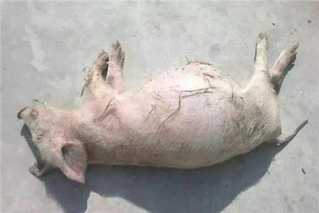 猪突然腹胀如鼓,试了几个方法都不管用,这样做......
