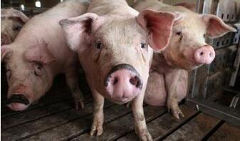 猪消化不良?生活中常见的物品就可以解决