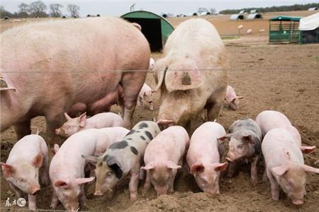 养了十年猪,才发现酒在猪场有如此妙用!