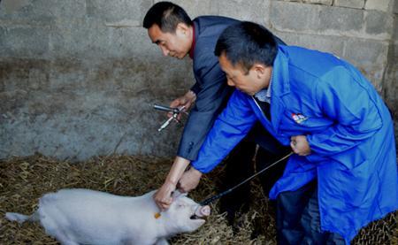 注射猪口蹄疫疫苗出现应激,致大批猪死亡!