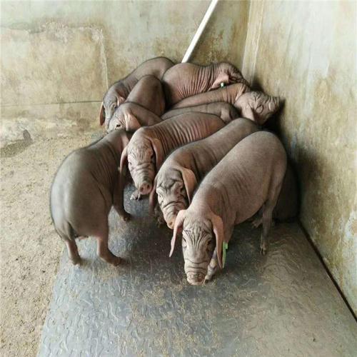 猪场猪只身体消瘦,皮肤起疙瘩,可能是这种病!