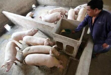 为什么你的猪群总是爱生病,谁让你不重视免疫力低下问题!