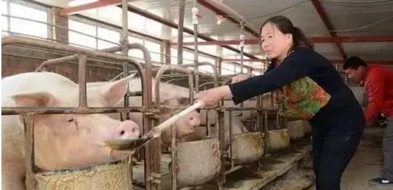 母猪奶水不好,搞清楚原因,对症解决!!!