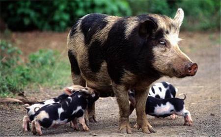 养猪人看完都沉默了!猪场最容易犯的9大错误!