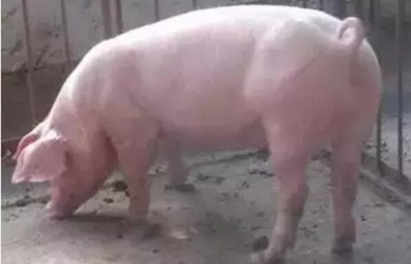"""9%的人这样挑选后备母猪,你做到了吗?"""""""