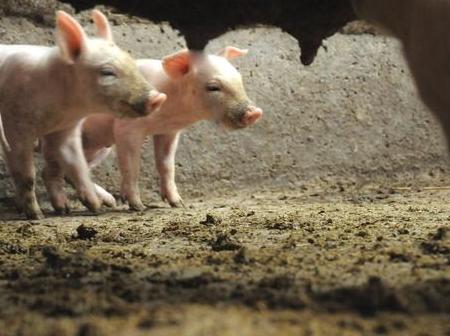观察病猪的要素,养殖户这样可以提早发现猪病