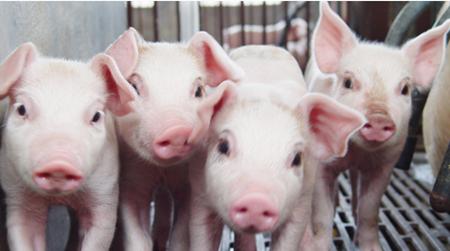 猪缺少钙质也会出大问题!