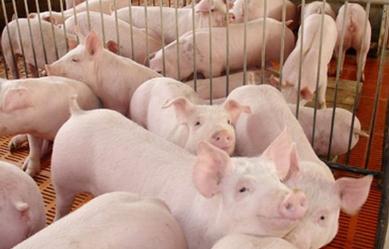 猪病诊断——三看、二查、一问 直接又快捷