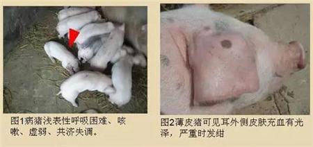 夏季多发!比猪瘟还可怕、养猪户一定要重视!!