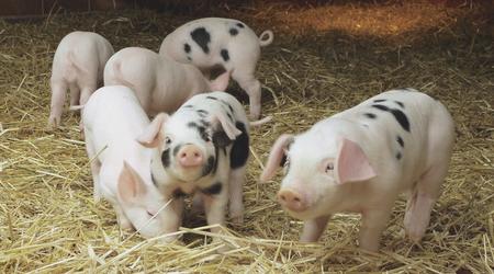 仔猪、后备母猪及母猪的正确药物保健方案