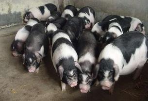 养猪人别再错了,猪场驱虫不见虫还不能安心养猪!
