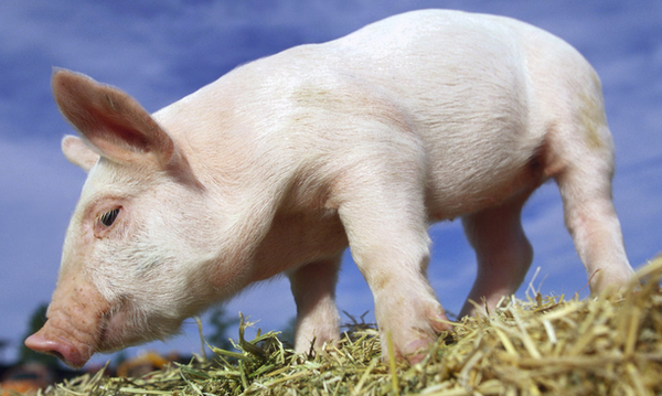 关于仔猪高热腹泻的预防与治疗