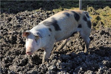 夏季养猪高温中暑五步急救术,成功挽救猪群不淘汰!