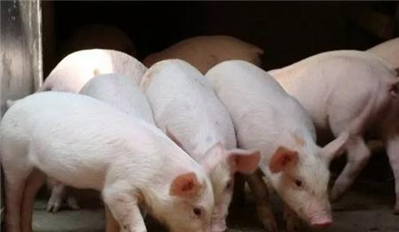 抓紧做好这五点,让猪平安度过春季!