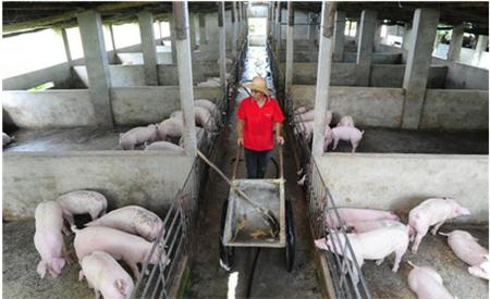猪治病过程中,皮下、静脉、腹腔,如何选择正确的注射方式?
