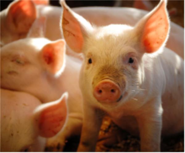 注意!高风险时期猪场最关注的六大问题,该如何应对?