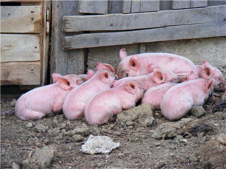 【实用】人生病了不要忙着打针,猪也一个道理!