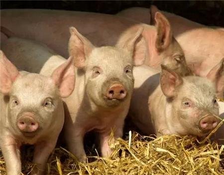 哺乳仔猪腹泻常见原因及防控策略 ——临床与实验室诊断相结合