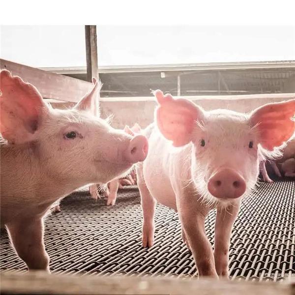 林可霉素注射液在猪病中的应用