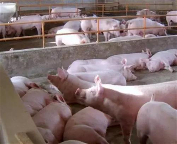 刚发生,比非洲猪瘟传播还要快的猪病,赶快来看!
