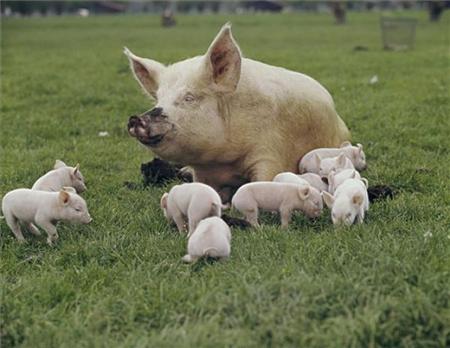 猪场母猪拉白尿就是病!不治你就赔大了!