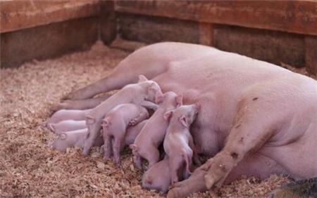 母猪泌乳不足的12种方法,总有一款适合你