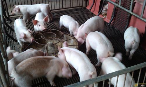 断奶仔猪日粮高剂量氧化锌的替代技术研究进展