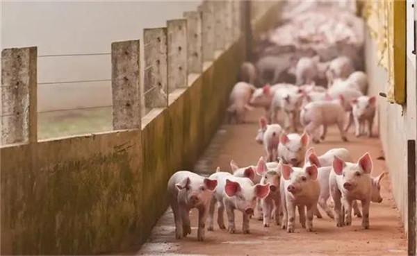 针对母猪容易压死仔猪的问题,注意这些就不用怕了!
