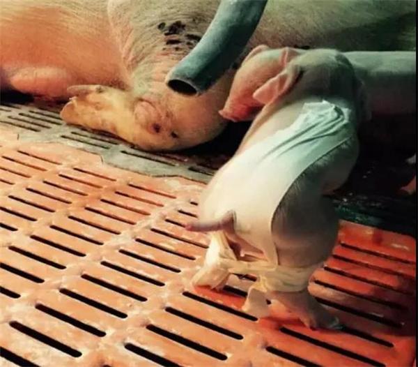 分娩舍最新操作流程与饲养管理