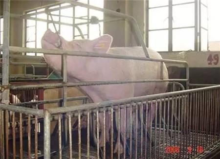 技术控|猪前腔静脉采血技术详解