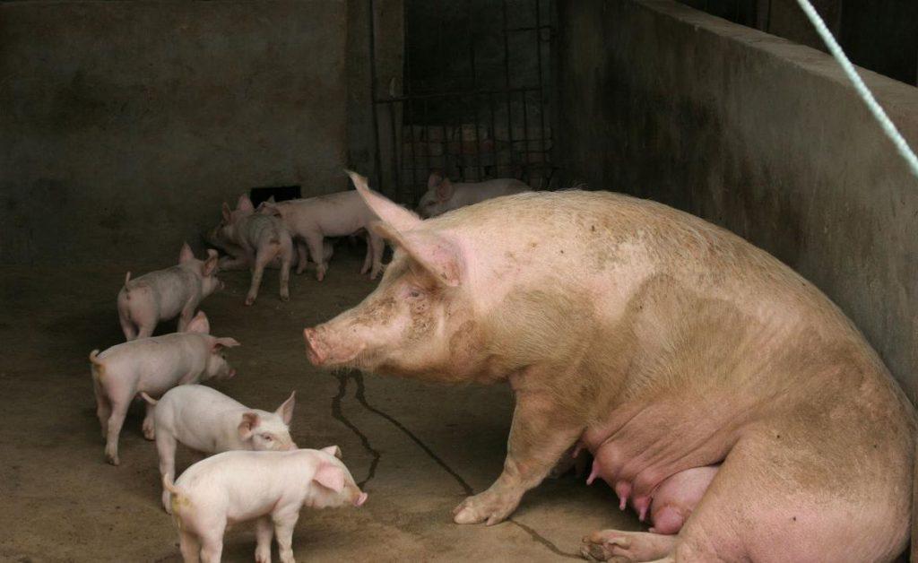 母猪产仔做好这五点,不仅母子平安,存活率还高!