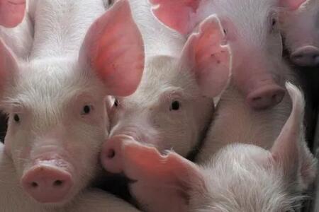 猪是会说话的,只是你没有听懂!