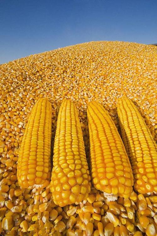 刚刚,我国采购136万吨美国玉米!
