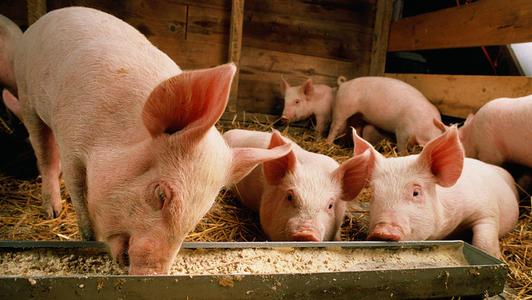 重磅!西南6省将开展非洲猪瘟联防联控,加强生猪调运和屠宰环节监管